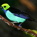 Green Headed Bird On Branch by Douglas Barnett