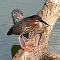 Green Heron 1 by J M Farris Photography