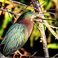Green Heron At Green Cay Wetlands by Ben Graham