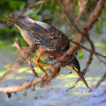 Green Heron Brazos Bend State Park by TN Fairey