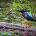 Green Heron by Brent Costenbader