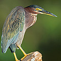 Green Heron Butorides Virescens by Panoramic Images
