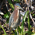 Green Heron Everglades by Sally Sperry