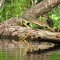 Green Heron Fishing 2 by Charles Green