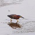Green Heron Fishing by Al Powell Photography USA