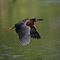 Green Heron In Flight by Douglas Stucky