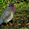 Green Heron In Swampy Water by Donald Trimble