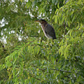 Green Heron In Tree by Ruth Housley