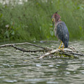 Green Heron In Water by Billy Stovall