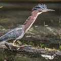 Green Heron by Ken Czworka