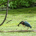 Green Heron Lunch by Edward Peterson