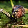 Green Heron by Matt Suess