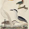 Green Heron, Night Heron, Young Heron, And Great White Heron by John G. Warnicke After Alexander Wilson