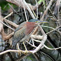 Green Heron On A Branch by Mark Wells