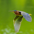 Green Heron On The Downdraft by Steve Samples