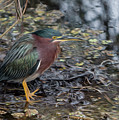 Green Heron Patience by Patti Deters