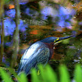 Green Heron  by Patti Whitten
