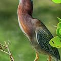 Green Heron Pose by Deborah Benoit