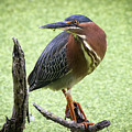 Green Heron by Soroush Mostafanejad