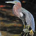 Green Heron Sretching Wing by Alan Lenk