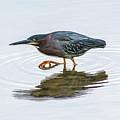 Green Heron Stalking Prey by Steven Dingeldein