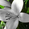 Green Highlighted Lily by Sonya Chalmers