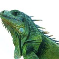 Green Iguana 1 by Gregory E Dean