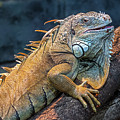 Green Iguana by Arterra Picture Library
