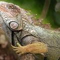 Green Iguana Costa Rica by Joan Carroll