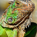 Green Iguana Series by Craig Incardone
