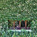 Green Ivy Window  by Chuck Kuhn