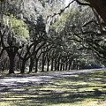 Green Lane With Live Oaks by Carol Groenen