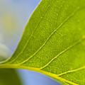 Green Leaf Backlit  by Jim Corwin