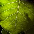 Green Leaf Detail by Norman Andrus