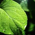 Green Leaf by Evgeniy Anikeev