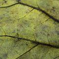 Green Leaf by Linda Sannuti