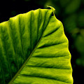 Green Leaf by Lyle  Huisken