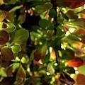Green Leaf Red Leaf Pano by Jerry Sodorff