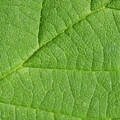 Green Leaf Texture by Wael Alreweie