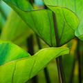 Green Leaves At Cantigny by Joni Eskridge