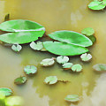 Green Lotus Leaf In The Lake by Jeelan Clark