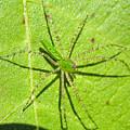 Green Lynx Spider by Kenneth Albin