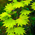 Green Maple  by Chih-Hung  Kao