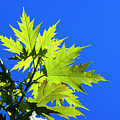 Green Maple Leaves by Robert Potts