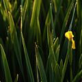 Green Marsh Grass At Sunrise On Lake Cassidy  by Jim Corwin