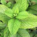 Green Mint Leaves by Aidan Moran
