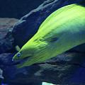 Green Moray Eel by JG Thompson