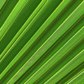 Green Palm Leaf by Lukasz Szczepanski