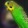 Green Parakeet Portrait by Jai Johnson