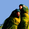 Green Parrot by W Gilroy